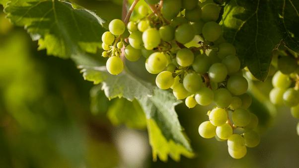Timorasso Grapes